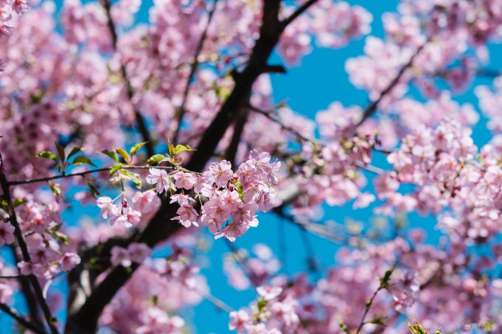 高円寺に咲く桜