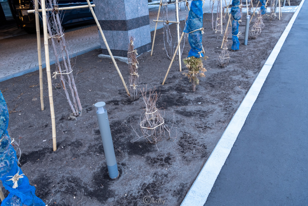 縛られた植木